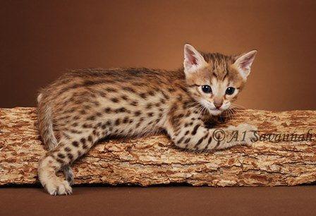 Bengal Cats For Sale F5 Savannahs F5 Savannah Cats F5 Savannah