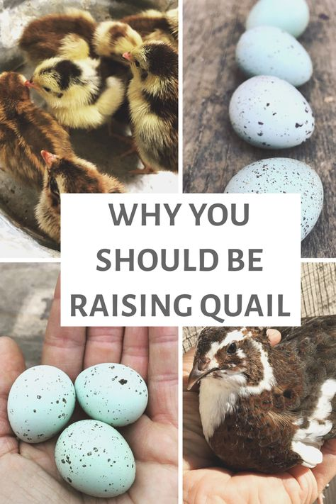 Everything You Need to Know to Get Started Raising Quail - Sadie-Girl Farm Backyard Chicken Coops, Backyard Farming, Chickens Backyard, Quail Pen, Quail Coop, Raising Quail, Raising Chickens, Funny Bird, Farm Plans
