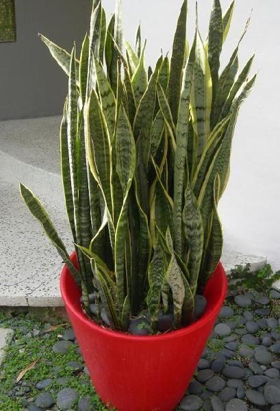 Kwiaty W Domu I Ogrodzie Sansewieria Dluga Jak Jezyk Tesciowej Indoor Plants Plants Succulents