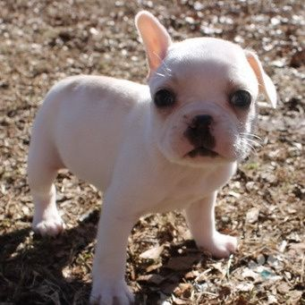 Adopted Meet Turner He Is A Handsome Cream Colored Frenchton