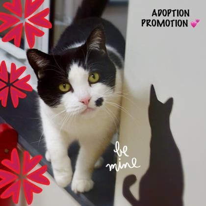 Marilyn Is An Adoptable Domestic Short Hair Searching For A Forever Family Near Mount Holly Nj Use Petfinder To Find Ado Fur Kids Animal Shelter Cat Adoption