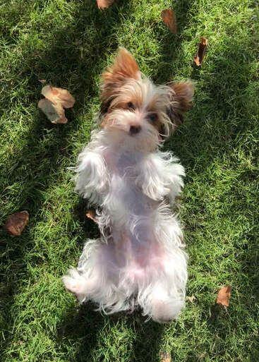 Cottonwood Ranch Yorkies Located In Arizona Home In 2020 Yorkie Breeders Yorkie Yorkie Puppy For Sale