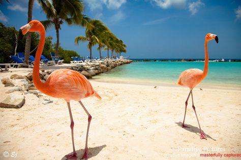 Flamingo In Huis : Renaissance island aruba ideeën voor het huis