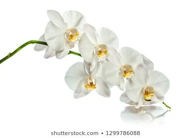 Similar Images Stock Photos Vectors Of White Orchid Isolated On White Background 426326476 Shutterstock In 2020 White Orchids Orchid Greeting Card Orchids