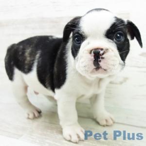 犬猫用 付け襟 レース丸衿 オフホワイト 小型犬 中型犬 首輪 ウエディング えり シャツカラー チョーカー おしゃれ 犬 中型犬 小型犬