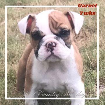 Bulldog Puppy For Sale In San Antonio Tx Adn 37587 On