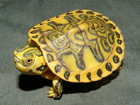 Yellow bellied slider.  This and three other species escaped from a Georgia farm where they were sold as pets or to the Chinese market. 1,600 total turtles made the jail break.