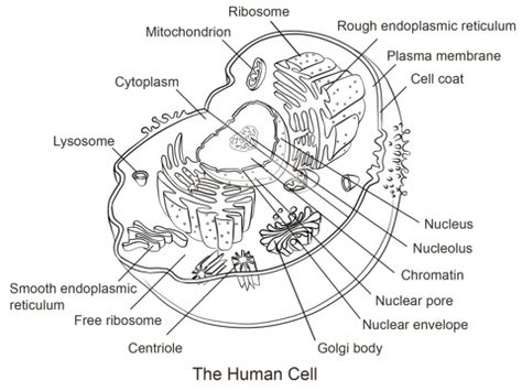 14++ Ask a biologist coloring page animal cell answers download HD