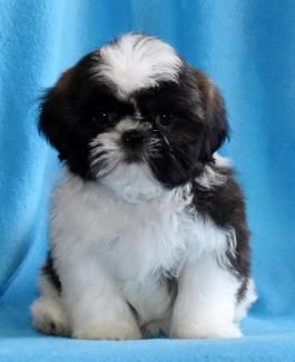 Zero Shih Tzu Puppy For Sale In Columbus Oh Lancaster Puppies