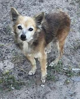 New York New York Chihuahua Meet Foxy A For Adoption Https