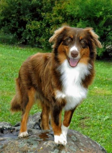 Do You Want To Meet The Sweet Australian Shepherd The Name Of The Dog In This Photo Is Called Australianshepherd If You Want Detailed Information And M Chien