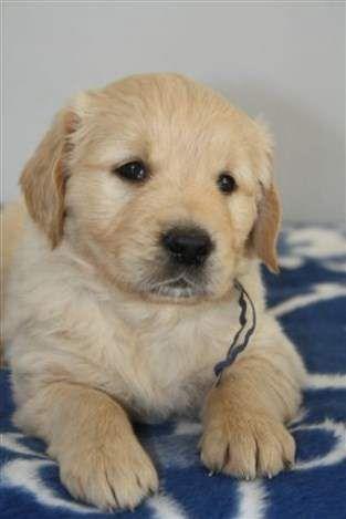 Golden Retriever Puppy Baby Animals Cute Dogs Animals
