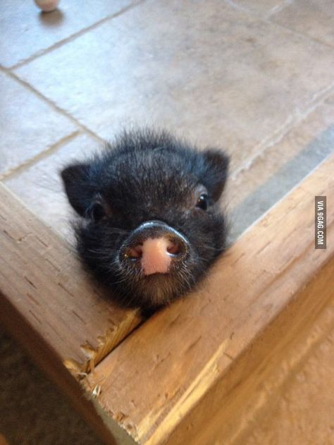 Cute Baby Animals In The Rainforest Cute Baby Animals Friends Cute Baby Pigs, Cute Piglets, Cute Babies, Baby Piglets, Cute Little Animals, Little Pigs, Cute Funny Animals, Baby Animals Pictures, Mini Pigs