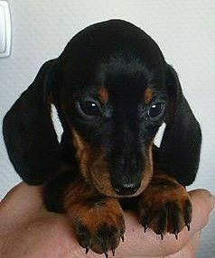 So Very Cute Dachshund Puppy Cute Puppies With Images Puppies