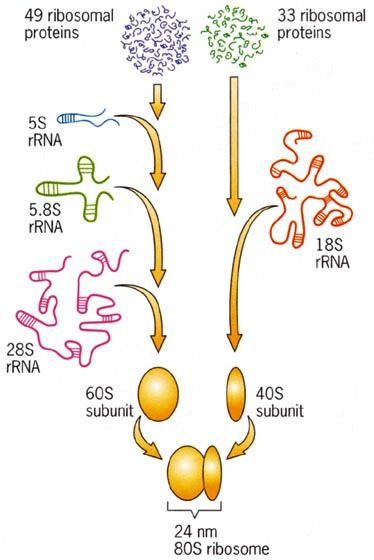 Chromosome Morphology And Ultra Structure Structure Function