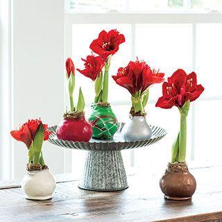 Waxed Amaryllis Bulbs Amaryllis Bulbs Plant Centerpieces Christmas Flowers