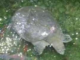 Tartaruga Guscio Molle.Tartaruga Dal Guscio Molle Gigante Dello Yangtze Rafetus