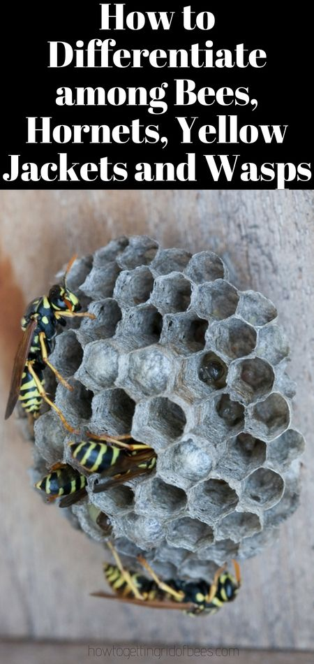 How To Differentiate Among Bees Hornets Yellow Jackets And Wasps Wasp Yellow Jacket Hornet