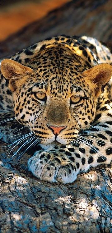 The Leopard ~ is capable of running just under 40 miles per hour for brief periods. It can leap more than 20 ft horizontally, and 10 ft vertically.