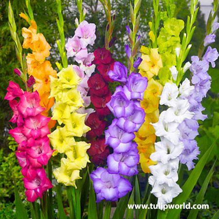 Tutti Frutti Gladiolus Mixture Gladiolus Flower Bulb Flowers Gladiolus Bulbs