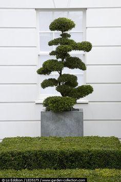 Cloud Topiary In Concrete Planter Sim Flemons John Warland Rhs Hampton Court Ilex Crenata Anse Hulst