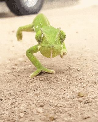 GIF Chameleon watches you every minute