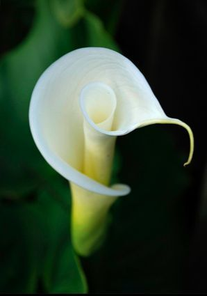 All White Flowers Are Beautiful And With Meanings Of Their Own So Which Do You Prefer Beautiful White Flowers Types Lily Plants Calla Lily White Flowers