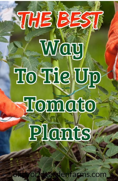 Tying Up Tomatoes What To Use And How To Do It With Ease