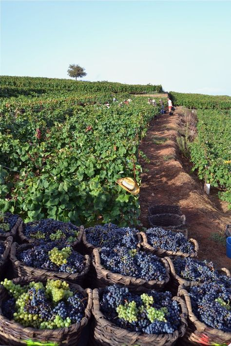 Harvesting grapes for wine ~ Le vendange Tenerife, Wine Lovers, Wine Vineyards, Vides, In Vino Veritas, Italian Wine, Wine Time, Canary Islands, Wine And Spirits