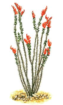 Drawing Flowers Ocotillo - Botany is a branch of biology focused on the study of plant life. Learn about the science of botany in this section.