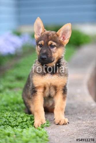 Cute German Shepherd Puppy Sitting In Flowerbed Buy The Right To