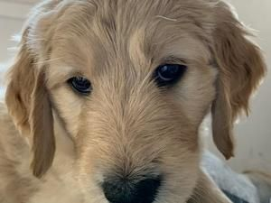 Puppies Dogs For Sale In Glasgow Buy A Puppy Near You Puppies For Sale In Glasgow Dogsandpuppies Co Uk Golden In 2020 Lhasa Apso Puppies Puppies For Sale Lhasa Apso