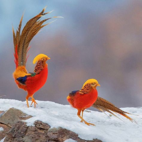 Beautiful Golden Pheasants