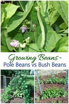 Growing Green Beans Pole Beans Vs Bush Beans Growing Green Beans Growing Beans Green Beans Garden
