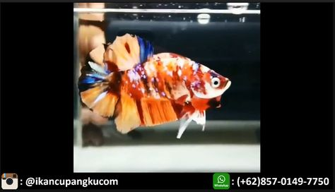 Cupang Nemo Thailand Harga Cupang Nemo Cupang Koi Nemo Jual Cupang Nemo Cupang Plakat Nemo An Koi Black Dragon Fish