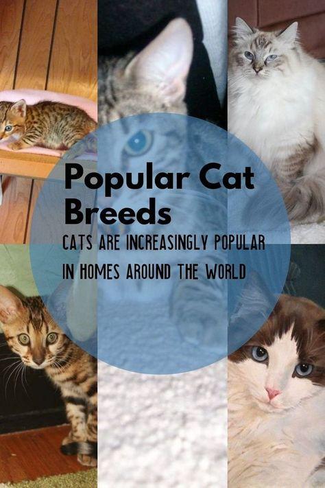 Haufigste Katzenrassen Ragdoll Perser Strassenkatze Siamesische