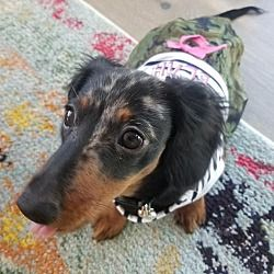 Available Pets At Central Texas Dachshund Rescue In Humble Texas Dachshund Adoption Pet Adoption Dachshund Rescue
