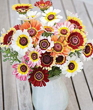 Chrysanthemum Tricolor Daisy Annual Flowers Chrysanthemum