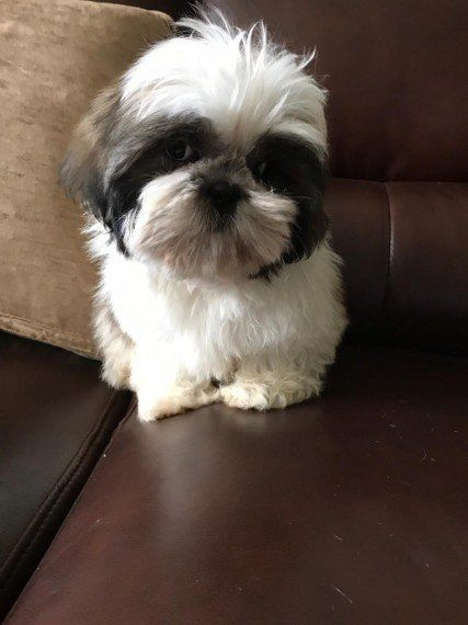Ready Now Kc Registered Shih Tzu Puppies For Sale In Kuwait