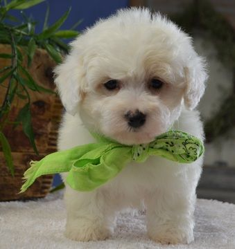Maltese Poodle Toy Mix Puppy For Sale In Tucson Az Adn 64676