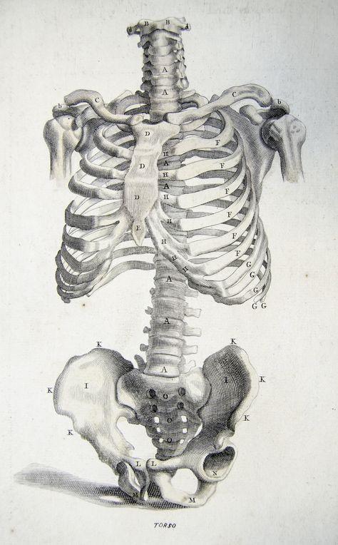 Ideas Medical Illustration Anatomy Bones For 2019 Anatomy Bones, Body Anatomy, Anatomy Male, Skeleton Drawings, Art Drawings, Anatomy Reference, Art Reference, Human Anatomy Drawing, Human Skeleton Anatomy