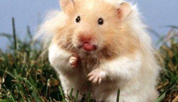 All About Syrian Teddy Bear Hamster Imagenes De Animales Tiernos Animales Animales Locos