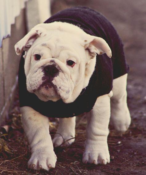 I M Definitely Learning To Knit This Sweater English Bulldog