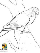 Lorikeet Coloring Page Bird Coloring Pages Coloring Pages