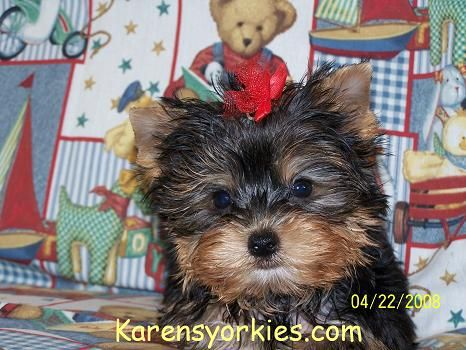 Yorkies For Sale Yorky Breeder Yorky Puppies Yorkshire Terrier Yorkshire Terriers For Sale Teacup Yor Yorkie Puppy For Sale Yorkie Puppy Yorkshire Terrier