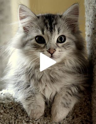 Videos Cats Are Simply Funny Clumsy And Cute Funny Cat
