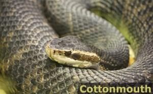 How To Identify Venomous Snakes In The Wild Or At Home Poisonous Snakes Snake Venom Water Moccasin Snake