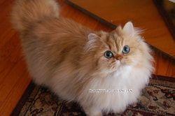 Reputable Missouri Persian Cat Breeder Christypaw Persians Persian Cat Persian Cat Breeders Persian Kittens For Sale