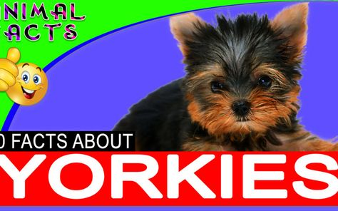 Yorkie Dogs 101 Yorkshire Terrier Dog Yorkshire Terrier Toy Dog Breeds