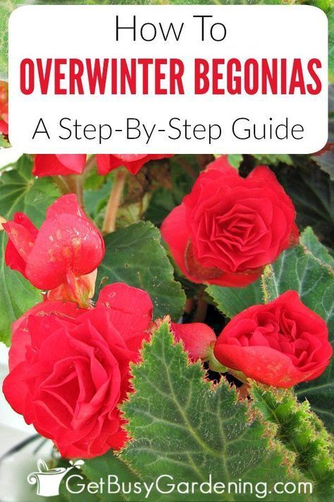 Some Types Of Begonia Plants Have Tubers Bulbs Which Can Easily Be Brought Indoors In The Fall And Stored For Winter Tuberous Begonia Begonia Overwintering